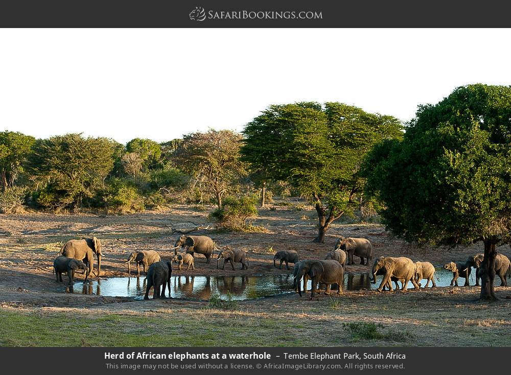 Herd of African elephants at a waterhole in Tembe Elephant Park, South Africa