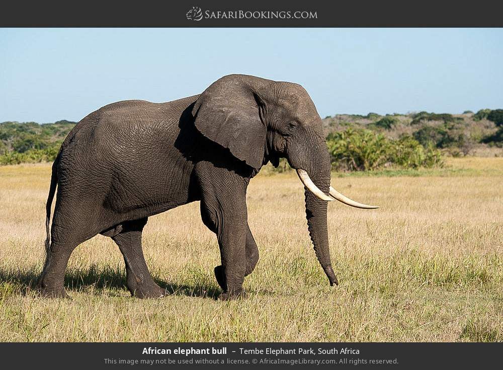African elephant bull in Tembe Elephant Park, South Africa