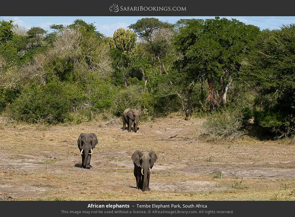 African elephants in Tembe Elephant Park, South Africa