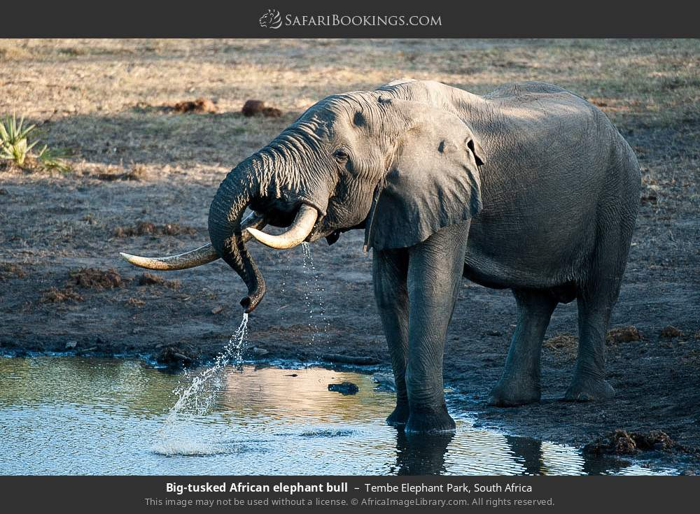 Big tusked African elephant bull in Tembe Elephant Park, South Africa