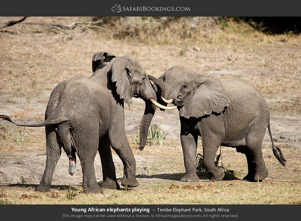 Young African elephants playing in Tembe Elephant Park, South Africa