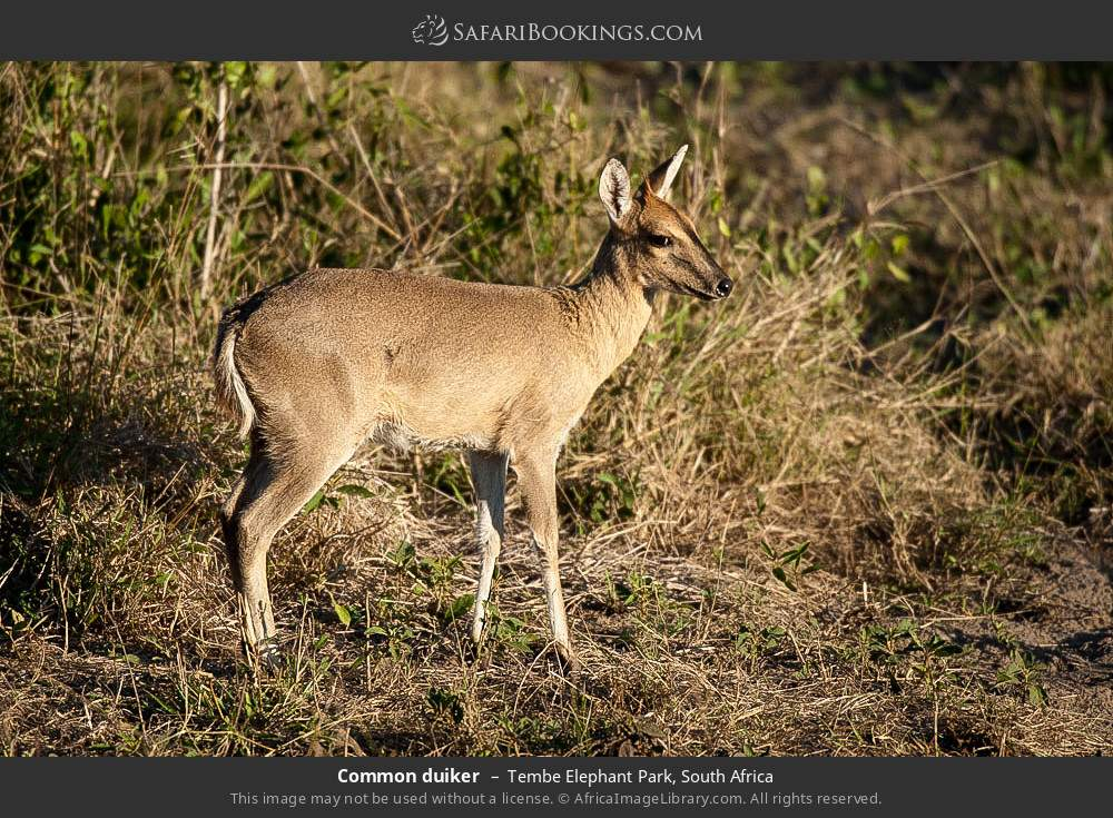 Common duiker in Tembe Elephant Park, South Africa