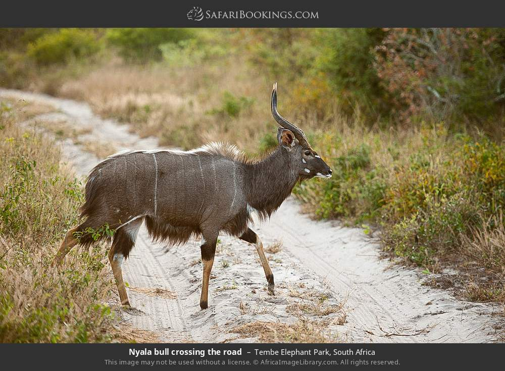 Nyala bull crossing the road in Tembe Elephant Park, South Africa