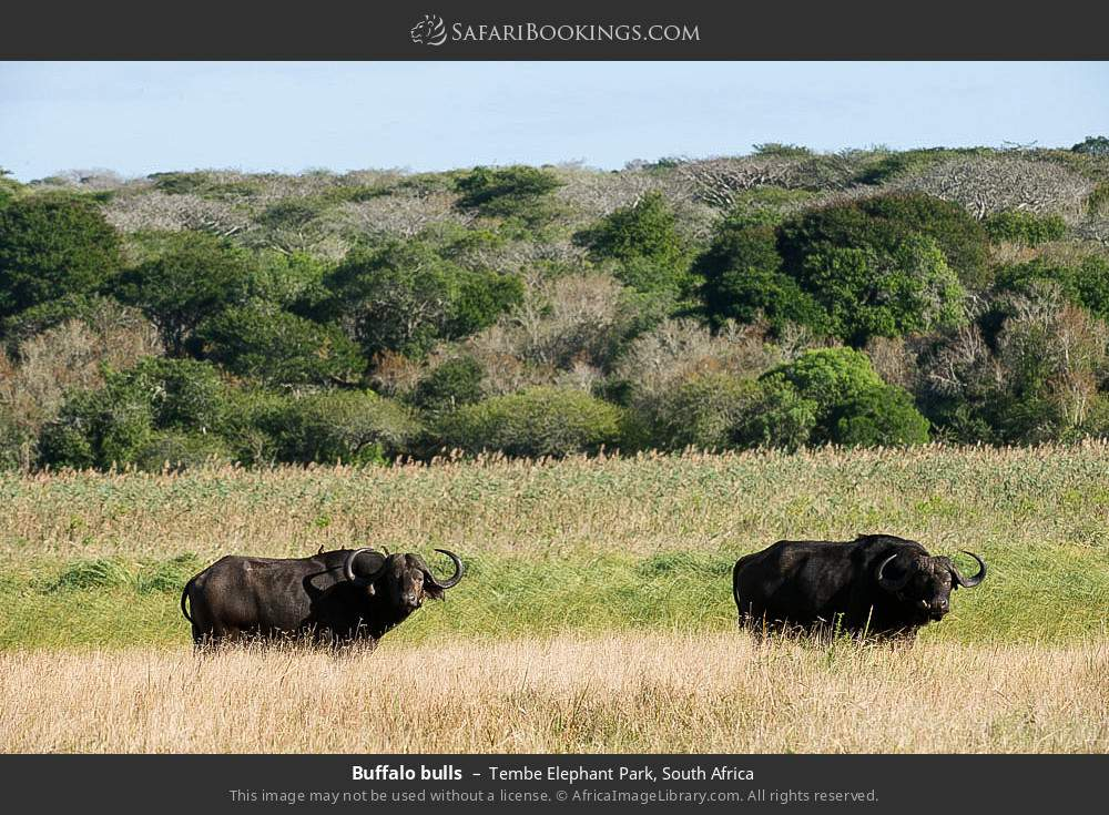 Buffalo bulls in Tembe Elephant Park, South Africa