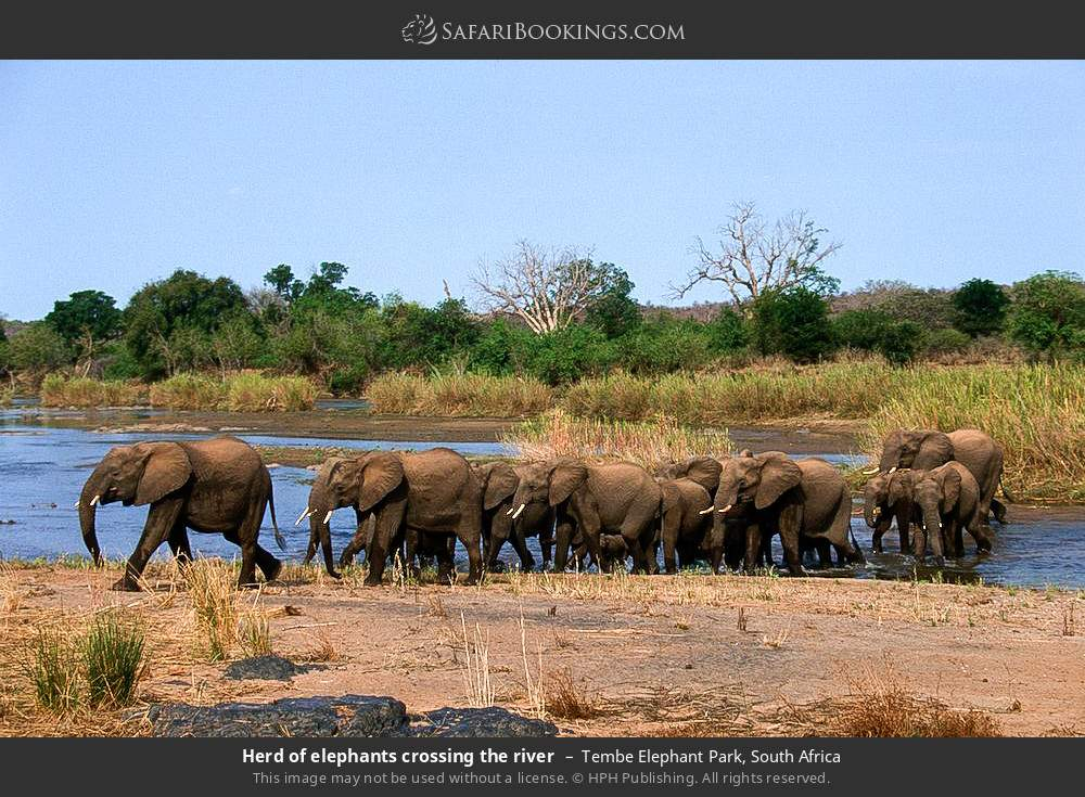 Herd of elephants crossing the river in Tembe Elephant Park, South Africa