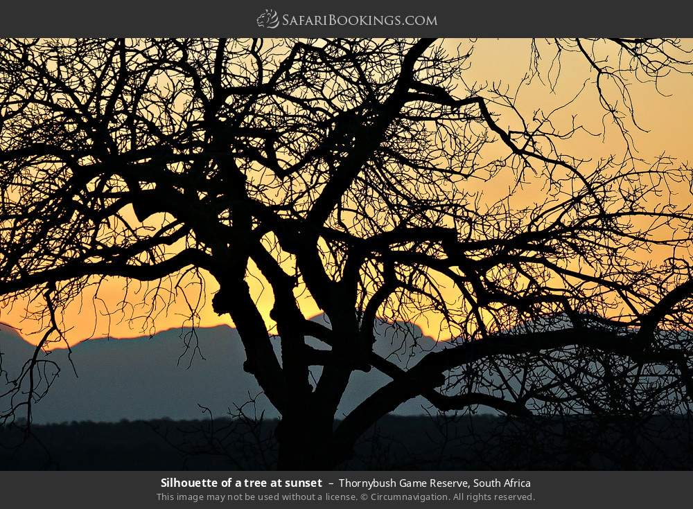 Silhouette of a tree at sunset in Thornybush Game Reserve, South Africa