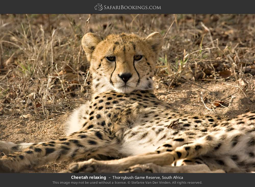 Cheetah relaxing in Thornybush Game Reserve, South Africa
