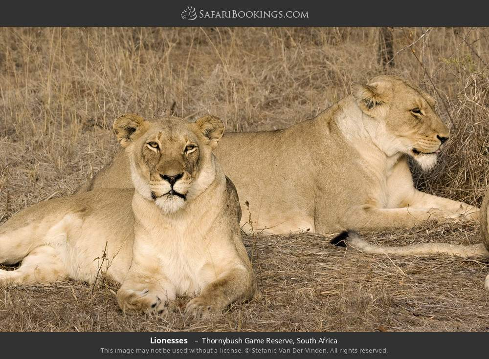 Lionesses  in Thornybush Game Reserve, South Africa