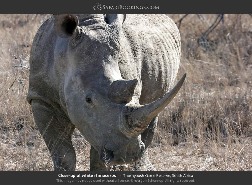 Close-up of white rhinoceros  in Thornybush Game Reserve, South Africa