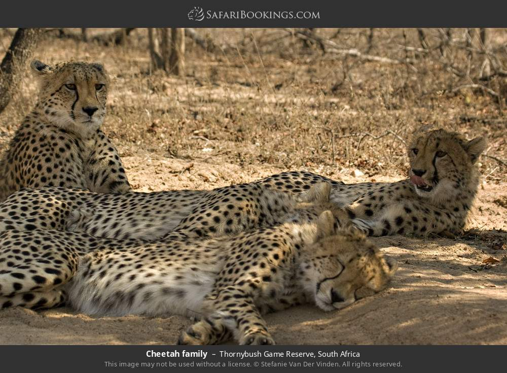 Cheetah family in Thornybush Game Reserve, South Africa