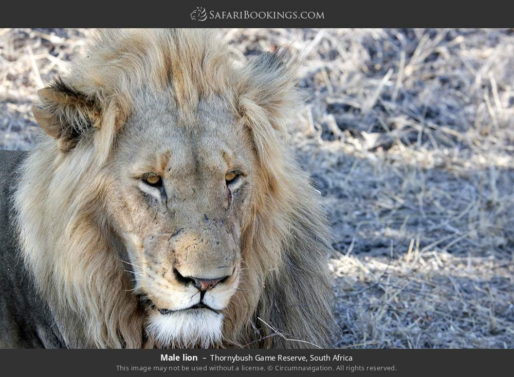 Male lion in Thornybush Game Reserve, South Africa