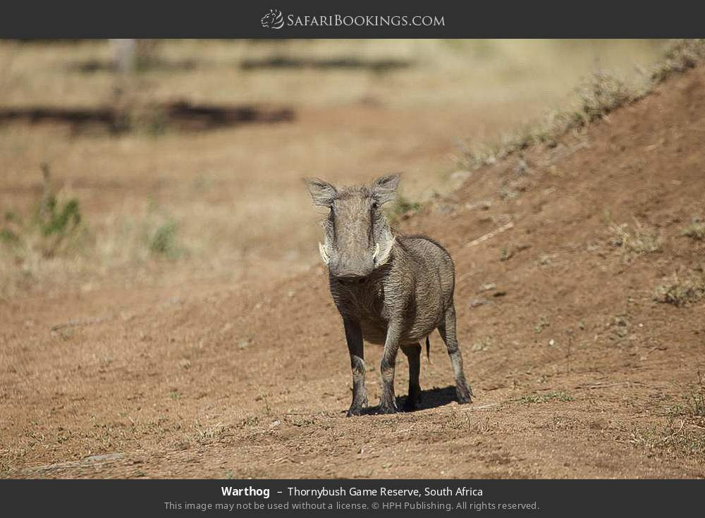 Warthog in Thornybush Game Reserve, South Africa
