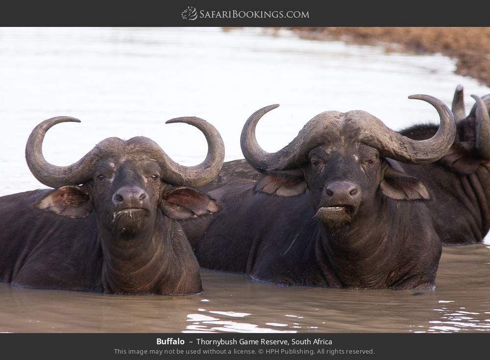 Buffalo in Thornybush Game Reserve, South Africa