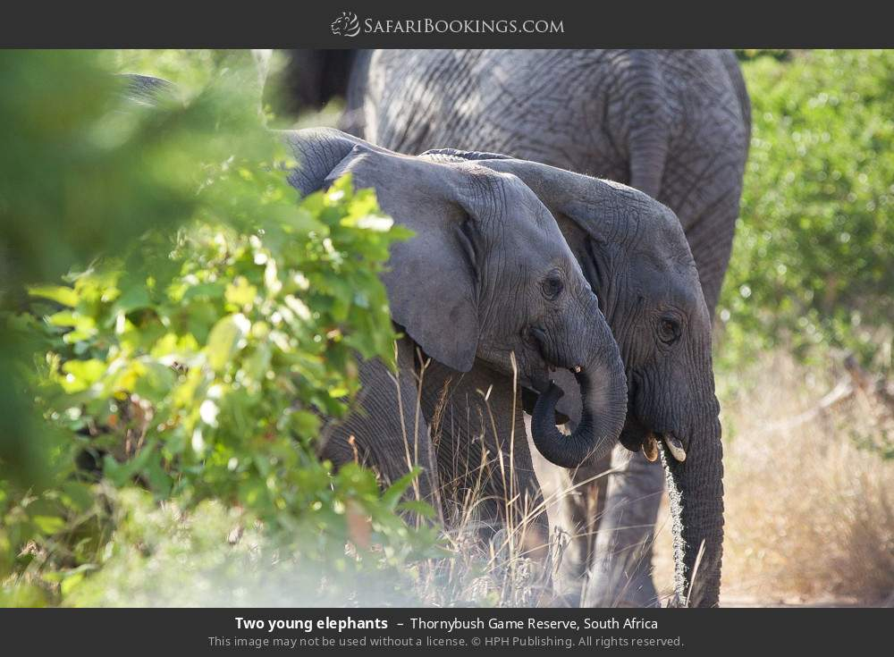 Two young elephants in Thornybush Game Reserve, South Africa
