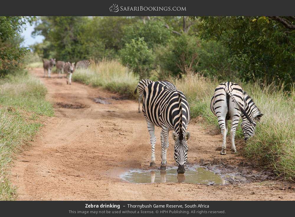 Zebra drinking in Thornybush Game Reserve, South Africa