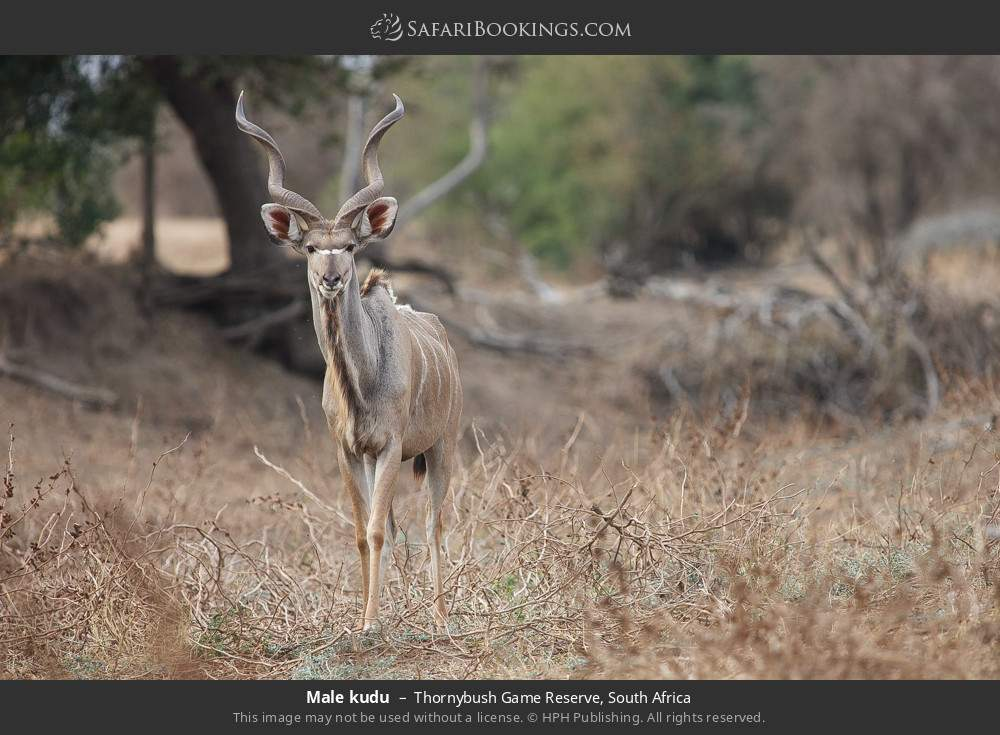 Male kudu in Thornybush Game Reserve, South Africa