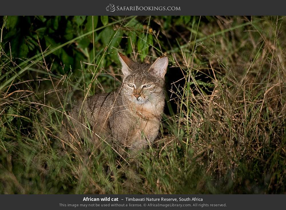 African wild cat in Timbavati Nature Reserve, South Africa