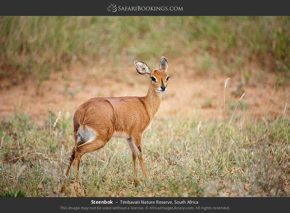 Steenbok in Timbavati Nature Reserve, South Africa