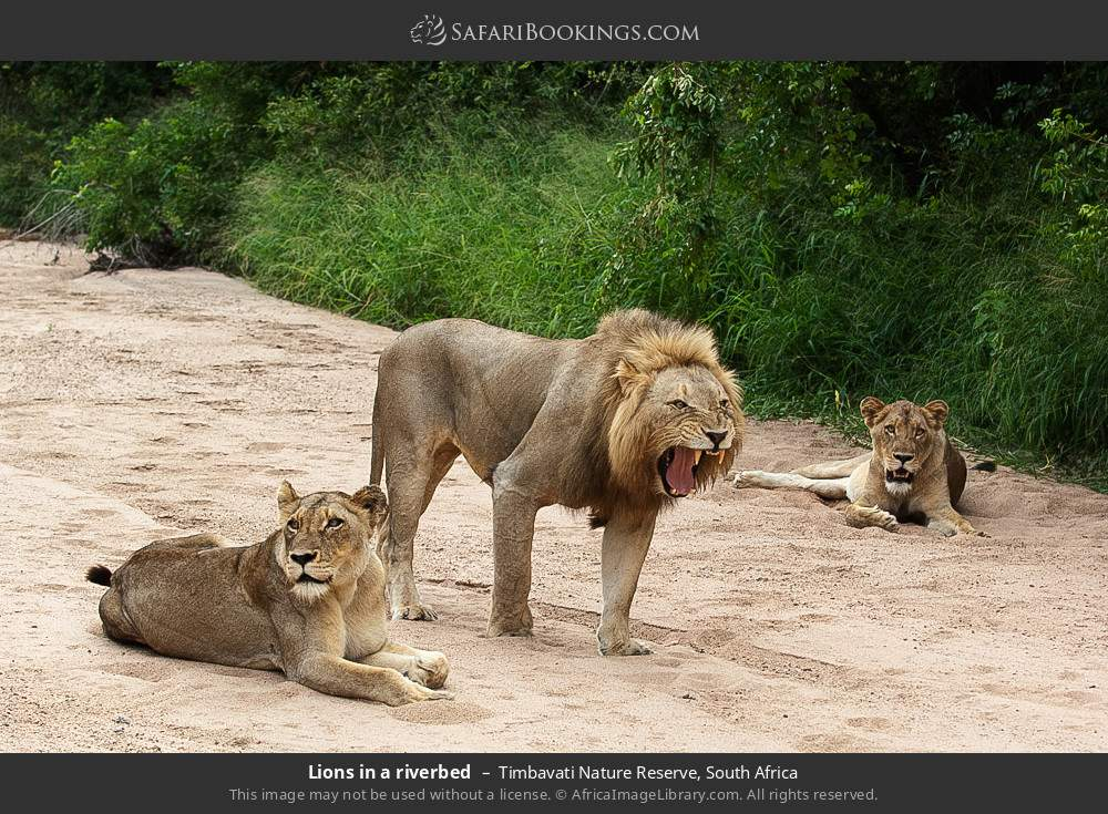 Lions in a river bed in Timbavati Nature Reserve, South Africa