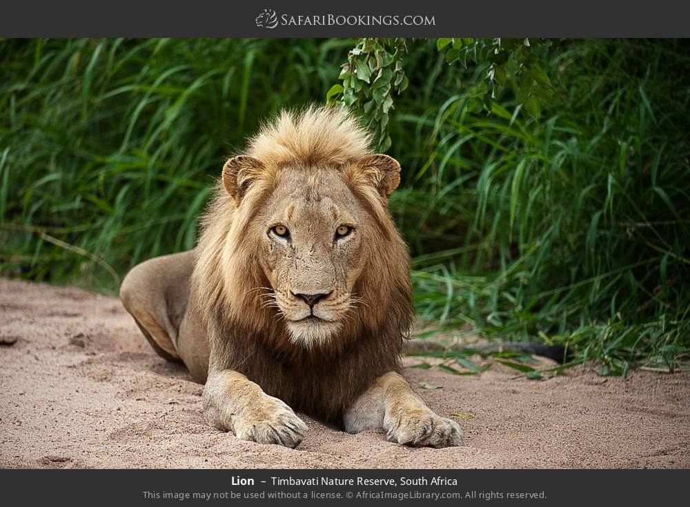 Lion in Timbavati Nature Reserve, South Africa