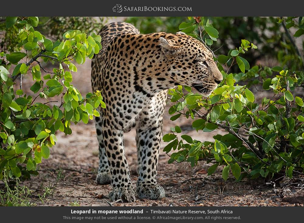 Leopard in Mopane woodland in Timbavati Nature Reserve, South Africa