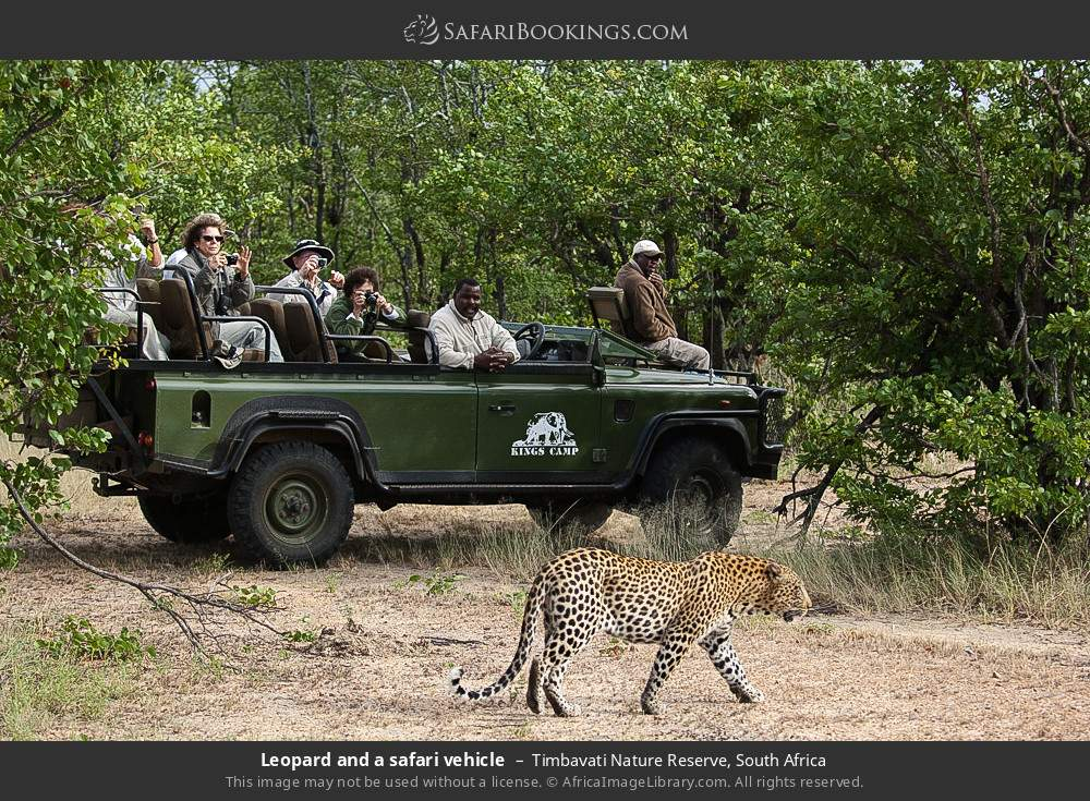 Leopard and a safari vehicle in Timbavati Nature Reserve, South Africa