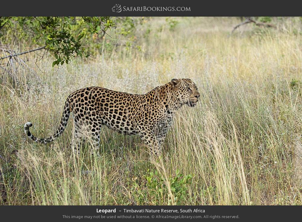 Leopard in Timbavati Nature Reserve, South Africa