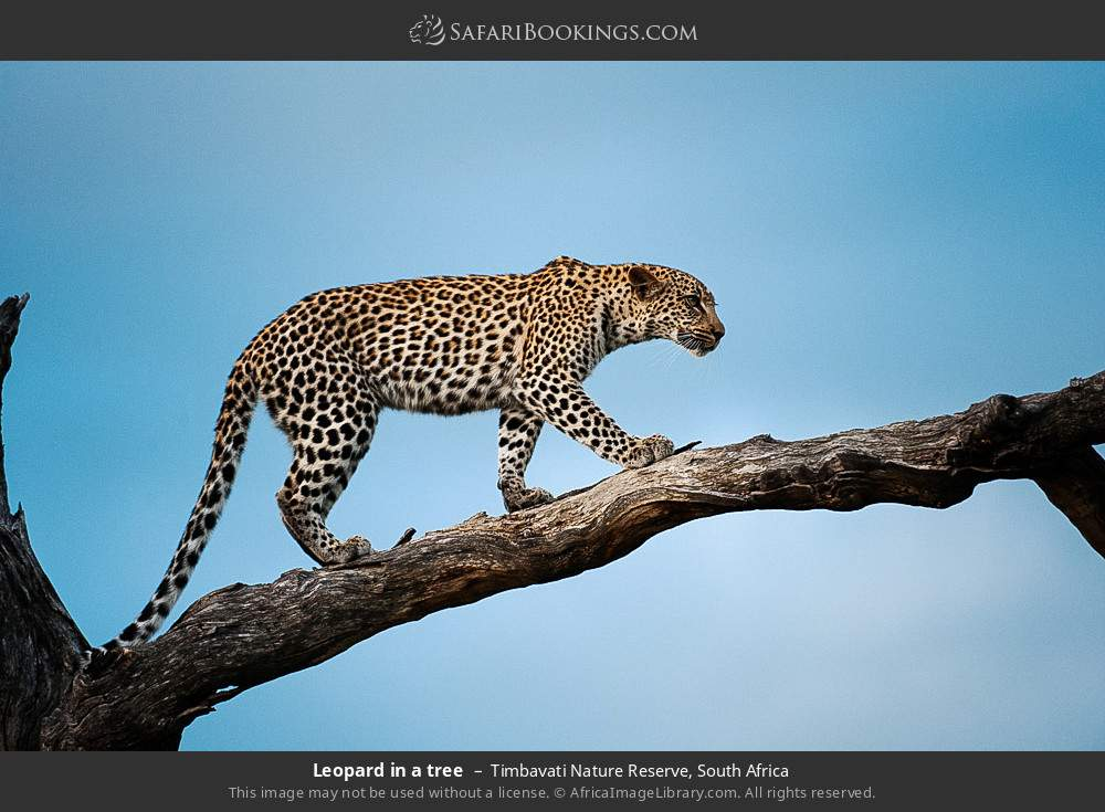 Leopard in a tree in Timbavati Nature Reserve, South Africa