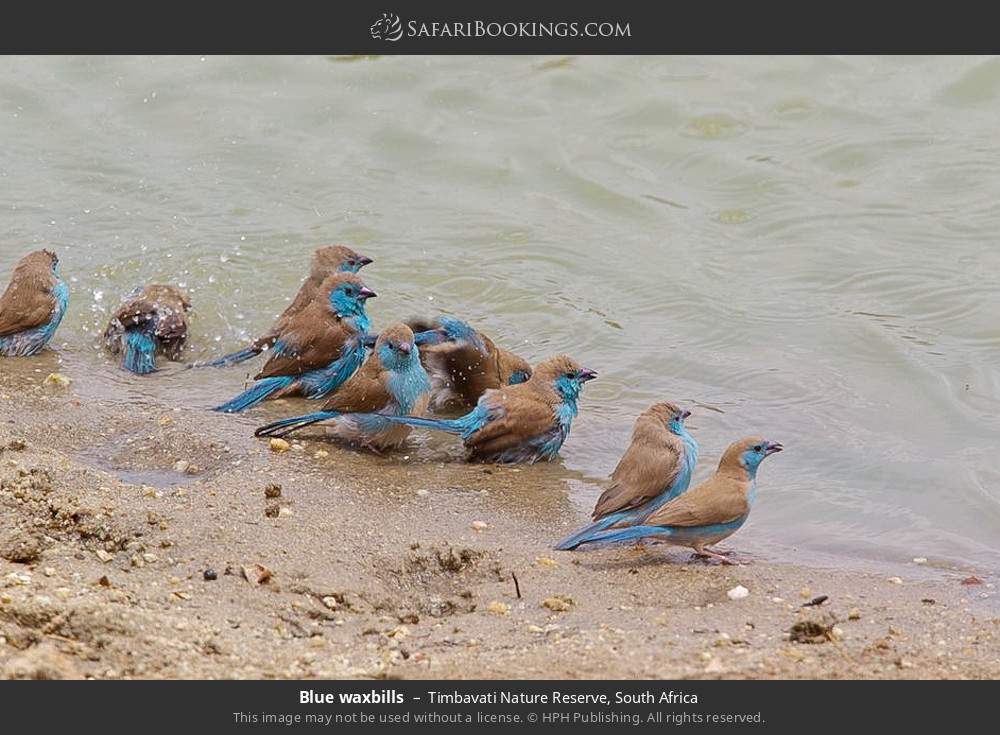 Blue waxbills in Timbavati Nature Reserve, South Africa