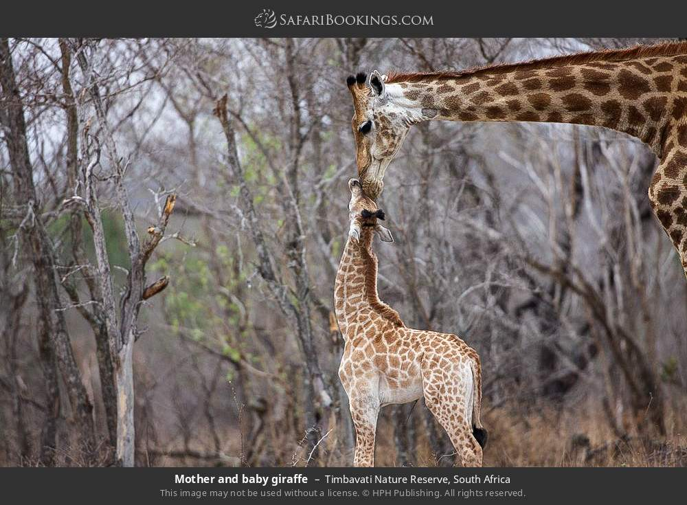 Mother and baby giraffe in Timbavati Nature Reserve, South Africa