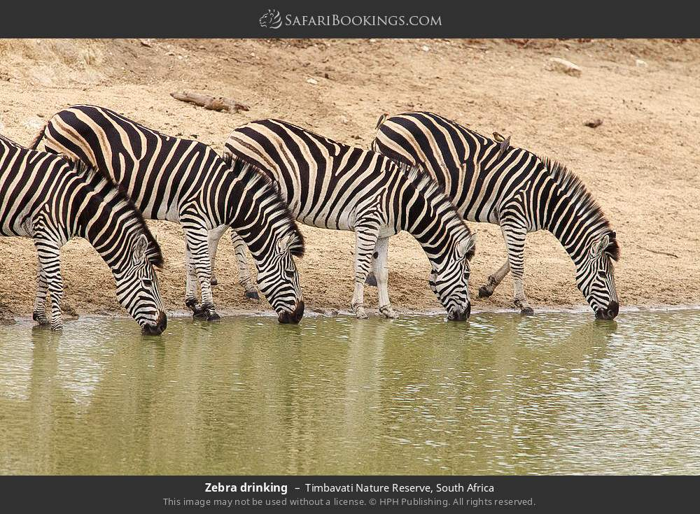 Zebra drinking in Timbavati Nature Reserve, South Africa
