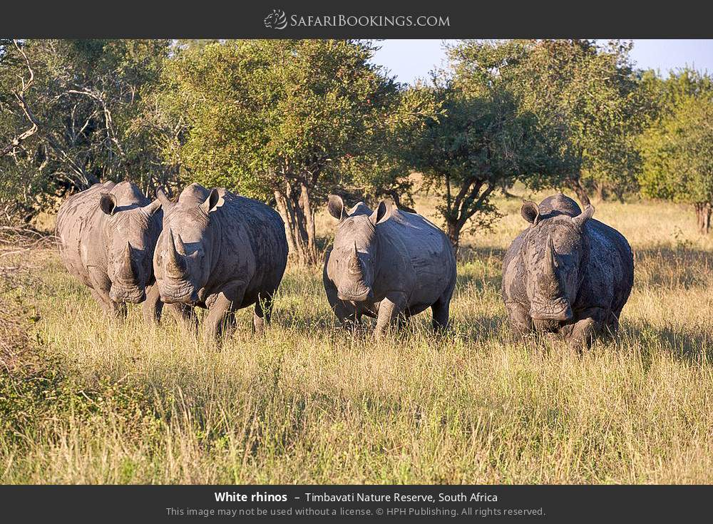 White rhinos in Timbavati Nature Reserve, South Africa