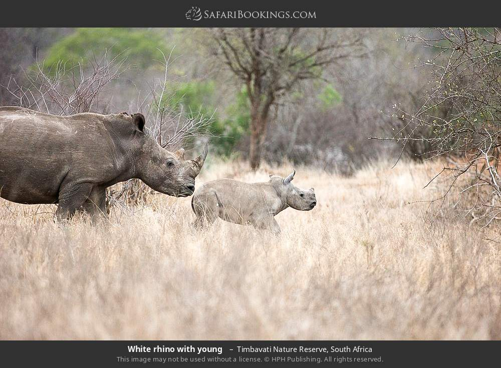 White rhino with young  in Timbavati Nature Reserve, South Africa