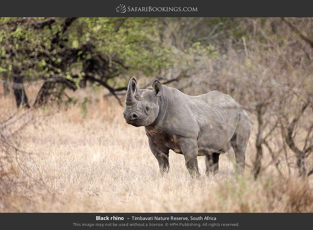 Black rhino in Timbavati Nature Reserve, South Africa