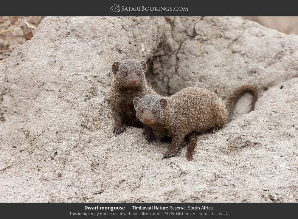 Dwarf mongoose in Timbavati Nature Reserve, South Africa