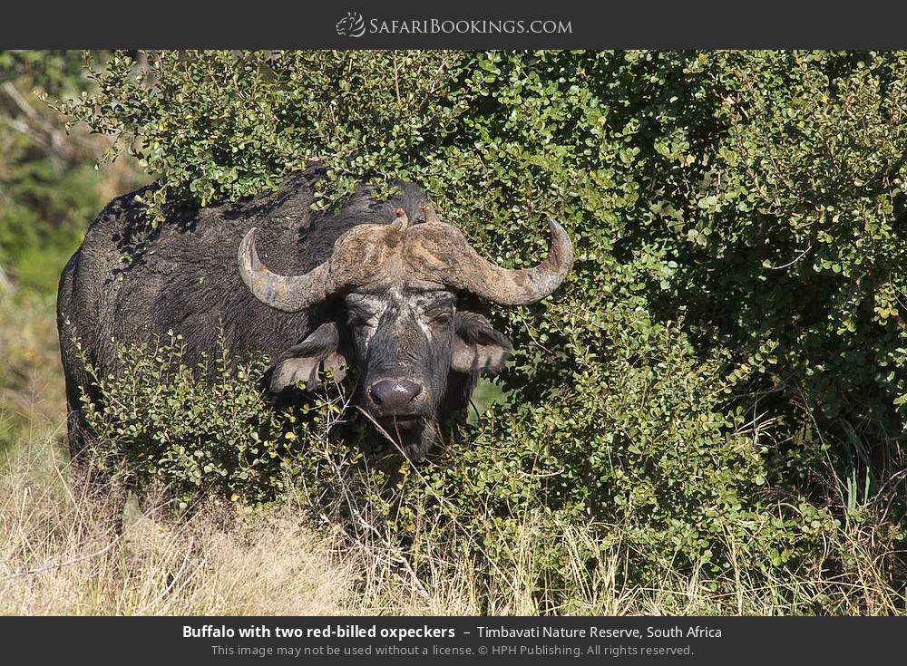 Buffalo with two red-billed oxpeckers in Timbavati Nature Reserve, South Africa