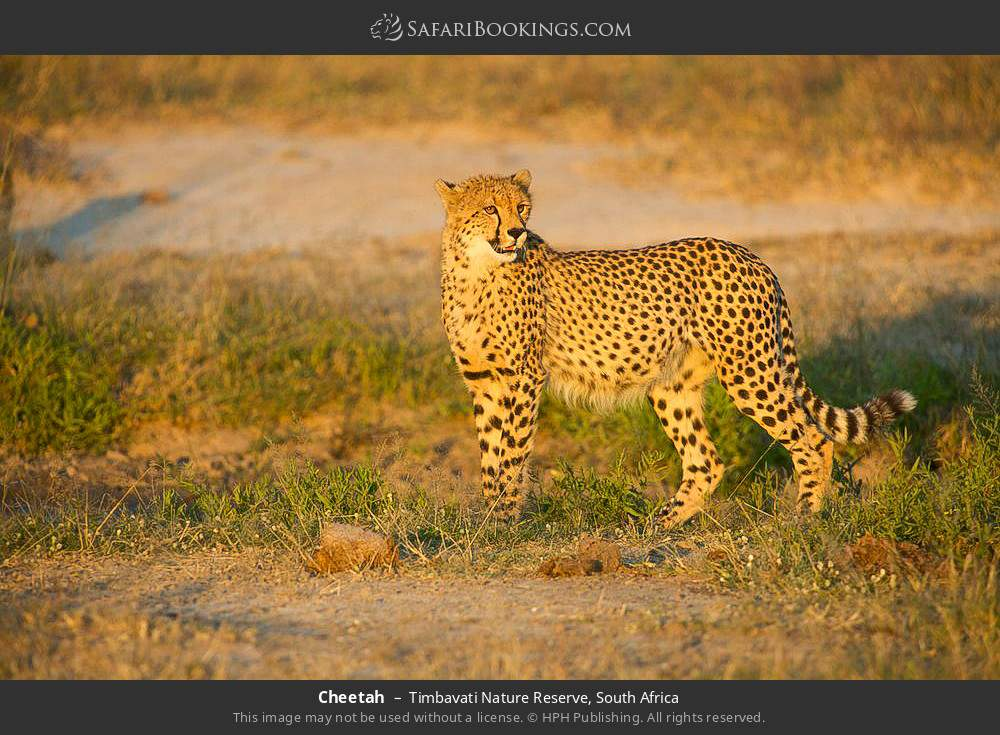 Cheetah in Timbavati Nature Reserve, South Africa