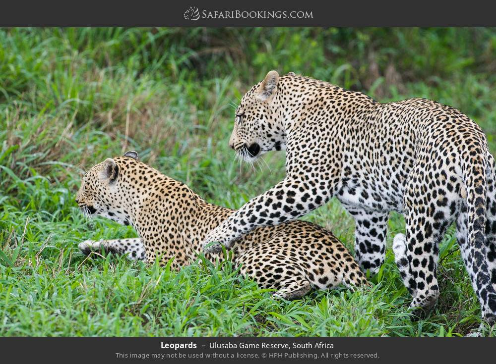 Leopards in Ulusaba Game Reserve, South Africa