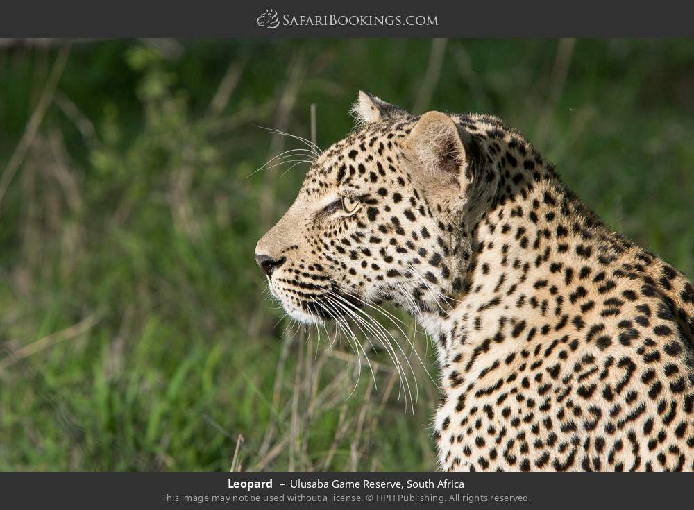 Leopard in Ulusaba Game Reserve, South Africa