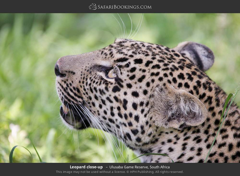 Leopard close up  in Ulusaba Game Reserve, South Africa