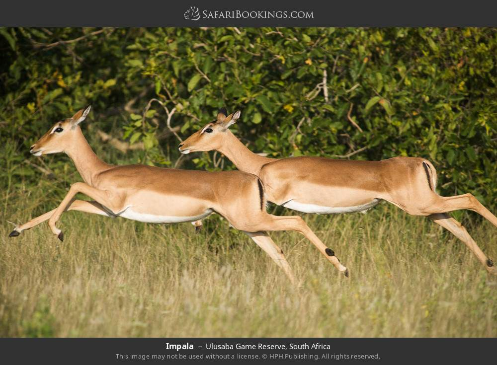 Impala in Ulusaba Game Reserve, South Africa