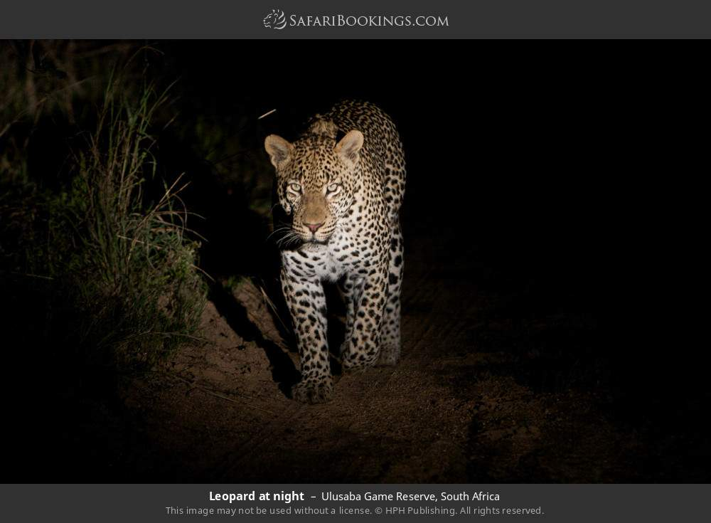 Leopard at night in Ulusaba Game Reserve, South Africa