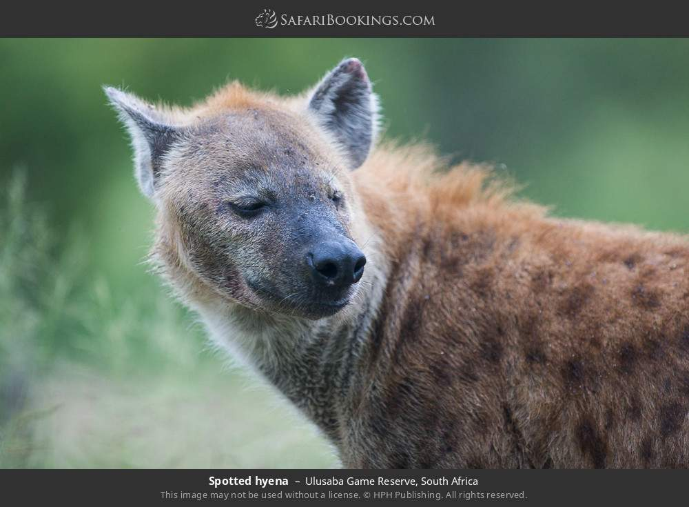 Spotted hyena in Ulusaba Game Reserve, South Africa