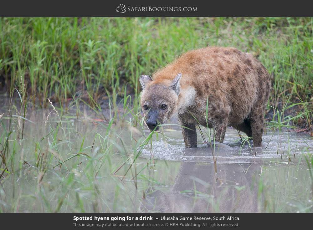 Spotted hyena going for a drink in Ulusaba Game Reserve, South Africa