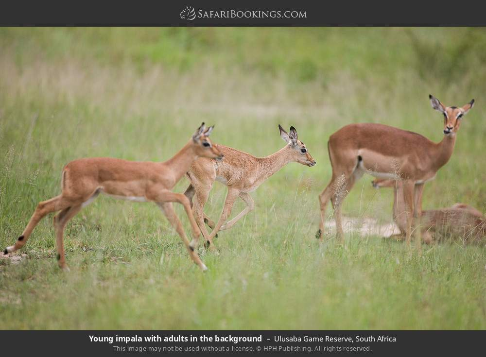 Young impala with adults in the background in Ulusaba Game Reserve, South Africa