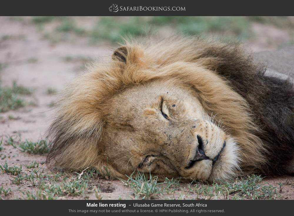 Male lion resting in Ulusaba Game Reserve, South Africa