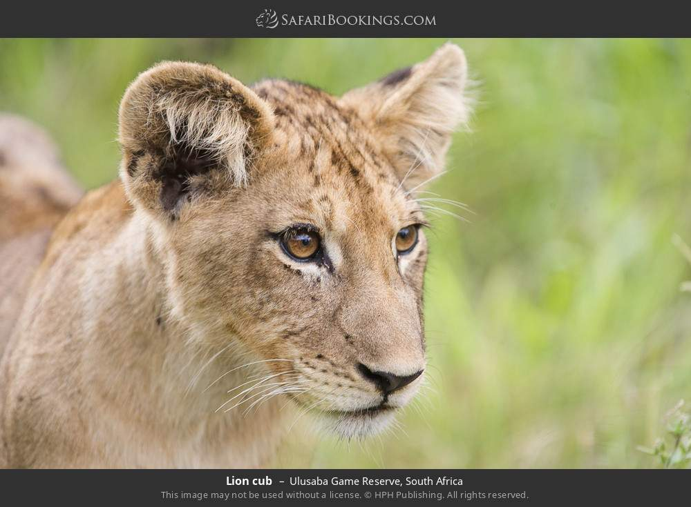 Lion cub in Ulusaba Game Reserve, South Africa