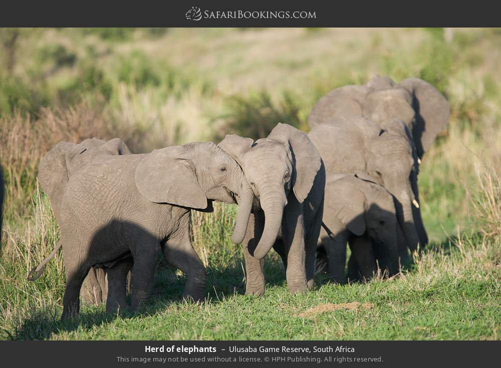 Herd of elephants in Ulusaba Game Reserve, South Africa