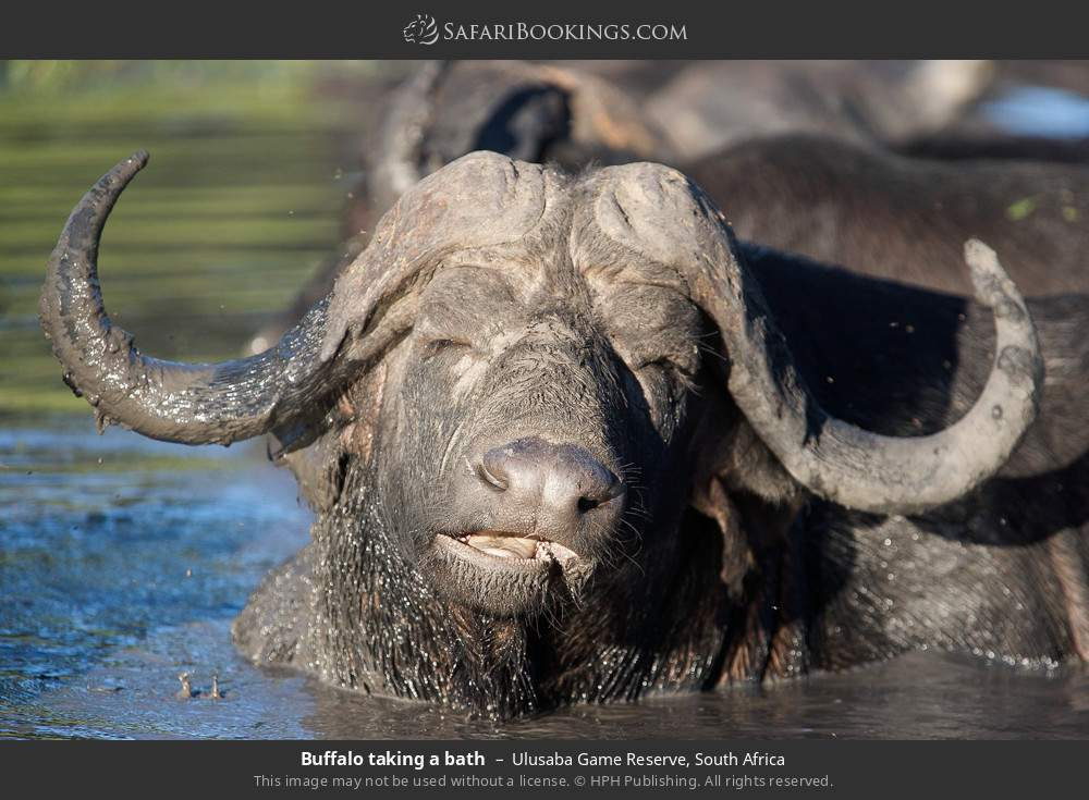 Buffalo taking a bath in Ulusaba Game Reserve, South Africa