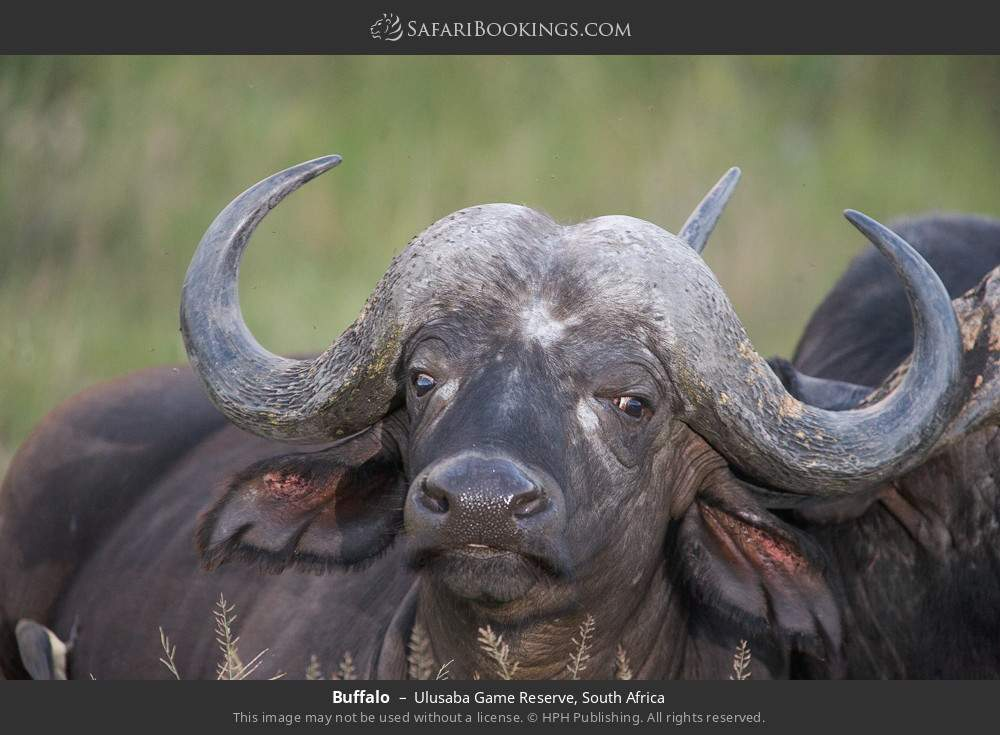 Buffalo in Ulusaba Game Reserve, South Africa